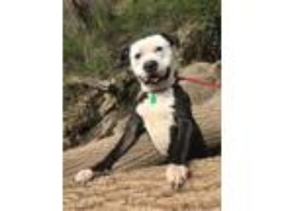 Adopt Rock a Black American Pit Bull Terrier / Mixed dog in Philadelphia