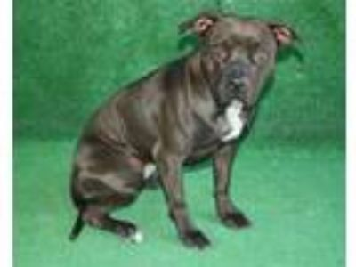 Adopt KORRA a Black - with White American Pit Bull Terrier / Mixed dog in