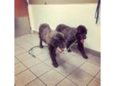 Adopt Blanche and Bennita a Black Newfoundland / Mixed dog in Alden