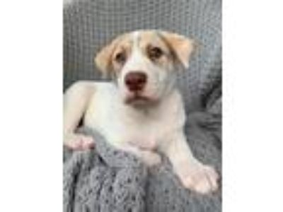 Adopt Neo a Labrador Retriever / Shepherd (Unknown Type) / Mixed dog in