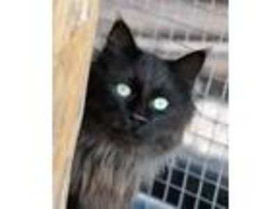 Adopt SIR GALLAHAD a All Black Domestic Longhair / Mixed (long coat) cat in