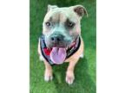 Adopt Brandy a Brown/Chocolate American Pit Bull Terrier / Mixed dog in