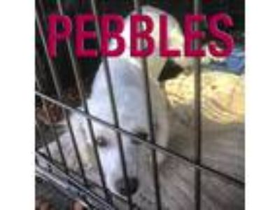 Adopt Pebbles a White Toy Poodle / Mixed dog in Cheshire, CT (25139977)