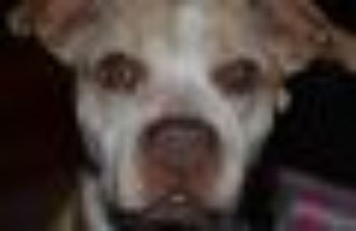 DIAMOND Boxer Dog