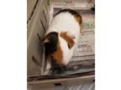 Adopt Thelma a White Guinea Pig / Guinea Pig / Mixed small animal in Chicago
