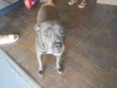 Adopt CUPCAKE a Pit Bull Terrier, Mixed Breed