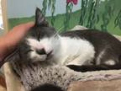Adopt Coconut a Gray or Blue (Mostly) Domestic Shorthair (short coat) cat in