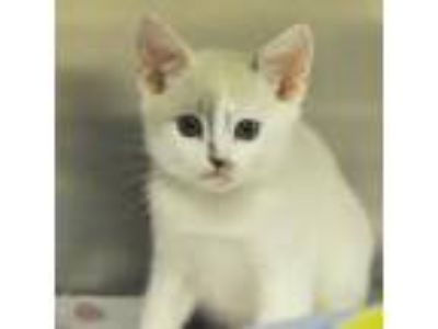 Adopt Luna a Cream or Ivory Snowshoe / Domestic Shorthair / Mixed cat in New