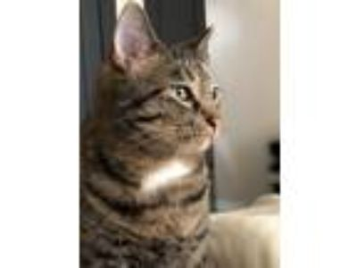 Adopt Little Kitty a Tiger Striped Domestic Shorthair cat in Coral Springs