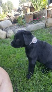Labrador Retriever PUPPY FOR SALE ADN-89316 - Black beauty is ready for her forever home