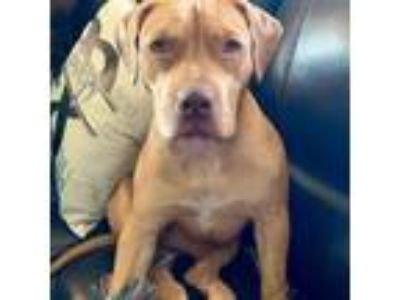 Adopt Sadie Justice a Pit Bull Terrier, Basset Hound