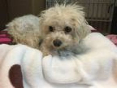 Adopt Rosie a Poodle (Miniature) / Mixed dog in Mipiltas, CA (25845513)