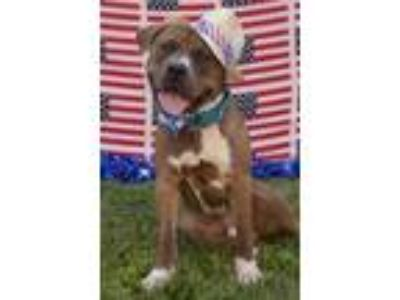 Adopt Morris a Brown/Chocolate American Pit Bull Terrier / Mixed dog in