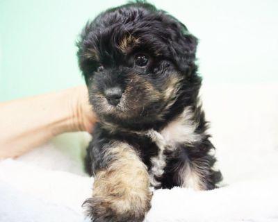 Maltipoo Puppy – Male- Bobby ($1,299)