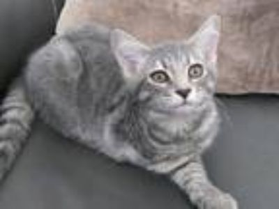 Adopt LIBERTY a Gray, Blue or Silver Tabby Domestic Shorthair (short coat) cat