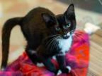 Adopt AMANDA a Black & White or Tuxedo Domestic Shorthair / Mixed (short coat)