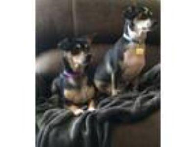 Adopt Shawn and Kyle a Dachshund, Beagle