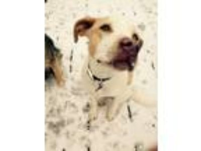Adopt Gatsby a White - with Tan, Yellow or Fawn Labrador Retriever / Mixed dog