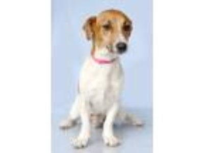 Adopt Bunny a White - with Red, Golden, Orange or Chestnut Basset Hound / Mixed