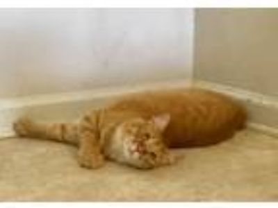 Adopt Peach a Orange or Red Tabby Domestic Shorthair (short coat) cat in Baton