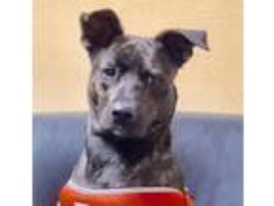 Adopt Sasha a Brindle Carolina Dog / Canaan Dog / Mixed dog in Miami