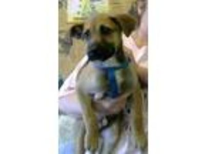 Adopt Hippy a Tan/Yellow/Fawn Boxer / Labrador Retriever / Mixed dog in