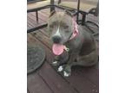 Adopt Barbie a American Staffordshire Terrier, Pit Bull Terrier