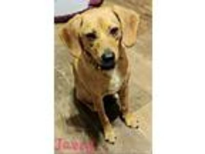 Adopt Jazzy a Red/Golden/Orange/Chestnut - with White Beagle / Labrador