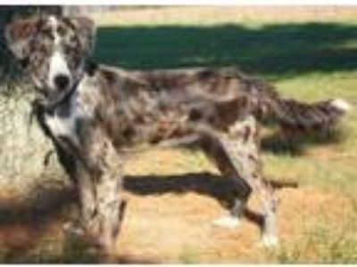 Adopt Callie a Catahoula Leopard Dog / Mixed dog in Angola, IN (25189769)
