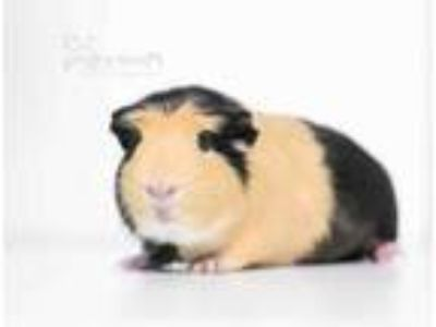 Adopt Nigel a Black Guinea Pig / Guinea Pig / Mixed small animal in