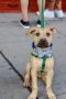 Steph Curry Hound - Shepherd Dog