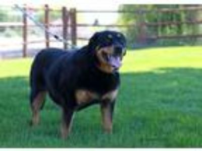 Adopt May a Rottweiler