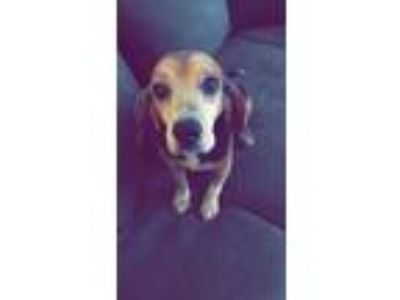 Adopt Paul a Black - with Tan, Yellow or Fawn Beagle / Mixed dog in Anderson