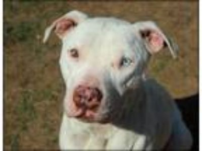 Adopt ACE a White American Pit Bull Terrier / Mixed dog in Fort Worth