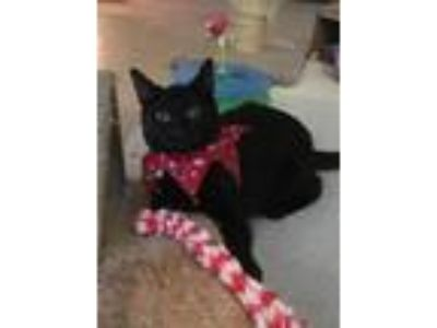 Adopt Cole a All Black Domestic Shorthair (short coat) cat in Temecula