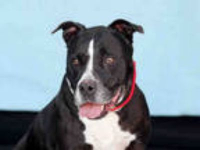 Adopt NELLIE a Gray/Silver/Salt & Pepper - with White American Pit Bull Terrier