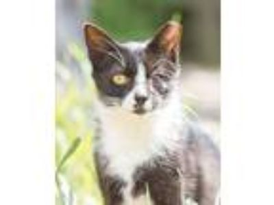 Adopt ONE EYED WINKIE a Domestic Short Hair