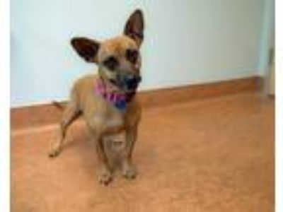 Adopt Iris/Emma a Brown/Chocolate Shepherd (Unknown Type) / Dachshund / Mixed