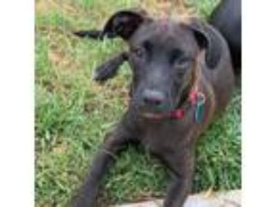 Adopt Honolulu Pup - Waikiki a Black Boxer / Mixed dog in San Diego
