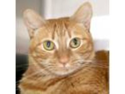 Adopt Sunshine a Orange or Red Tabby Domestic Shorthair / Mixed (short coat) cat