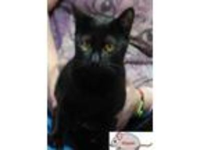 Adopt kipper a All Black Domestic Shorthair / Domestic Shorthair / Mixed cat in