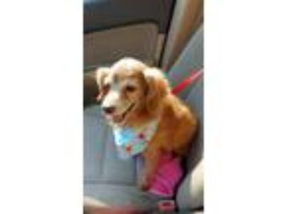 Adopt Boo a Cocker Spaniel / Dachshund / Mixed dog in Flushing, NY (19783634)