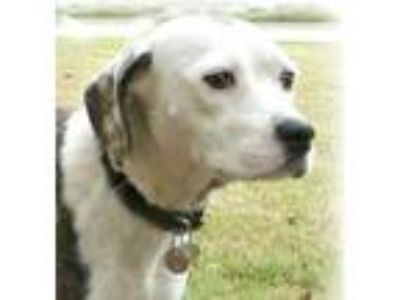 Adopt Love a White Beagle / Mixed dog in Irmo, SC (23547758)