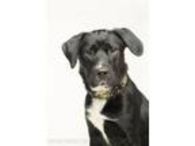 Adopt Tootsie Pop a Labrador Retriever, Border Collie