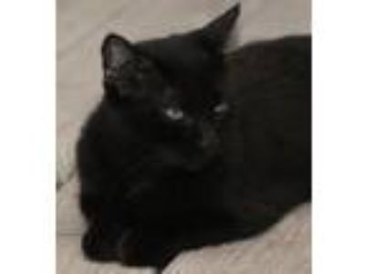 Adopt Gina a Domestic Short Hair