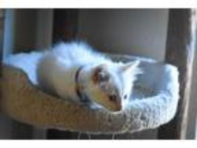 Adopt Alex a White Domestic Mediumhair / Mixed cat in Mustang, OK (25913865)