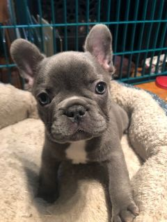French Bulldog PUPPY FOR SALE ADN-111529 - Beautiful Blue French Bulldog Male  Priced to Sell