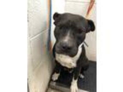 Adopt Chunk a Black American Pit Bull Terrier / Mixed dog in Edinburg