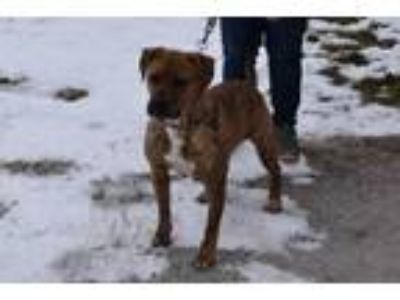 Adopt Jewel a Boxer, Labrador Retriever