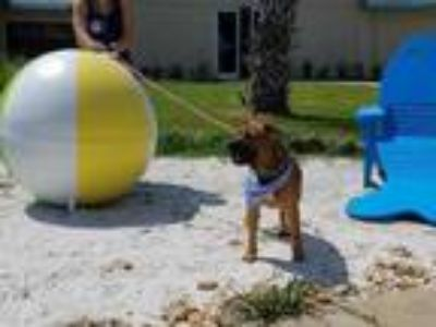 Adopt Mack a Brown/Chocolate Black Mouth Cur / Mixed dog in Daytona Beach